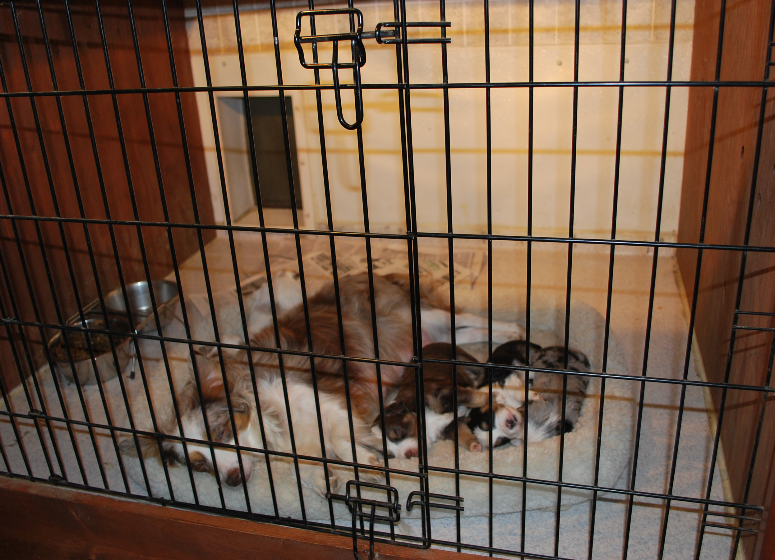 This Is Our Whelping Room. It Is Heated And Cooled As Needed. Each Room Has  A Doggy Door That Opens To The Outside, For The Mother To Get A Break From  The ...